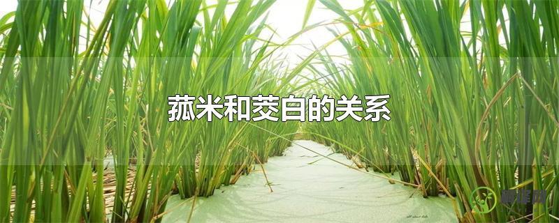 菰米和茭白的关系?