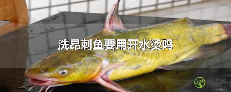 洗昂刺鱼要用开水烫吗?