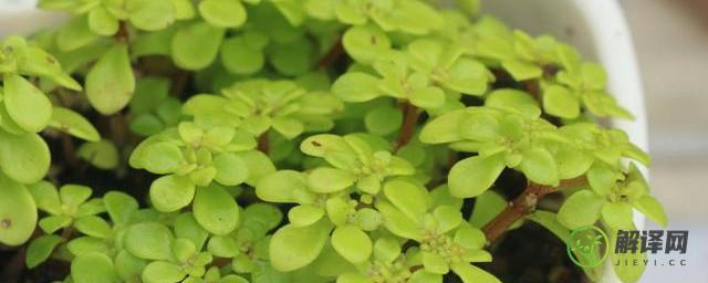 景天科植物有哪些品种,景天科植物的品种介绍?